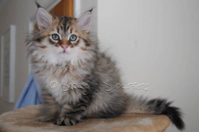 Snowgum Siberian Cats- Musrafy Trotskiy of Snowgum