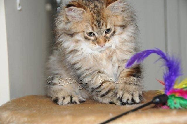 Show Cats For Adoption