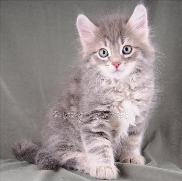 Blue Siberian Cat | www.imgkid.com - The Image Kid Has It!
