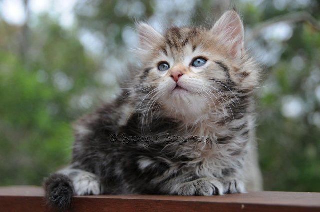 Classic tabby kittens