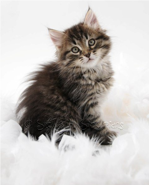 siberian cat and kitten colours