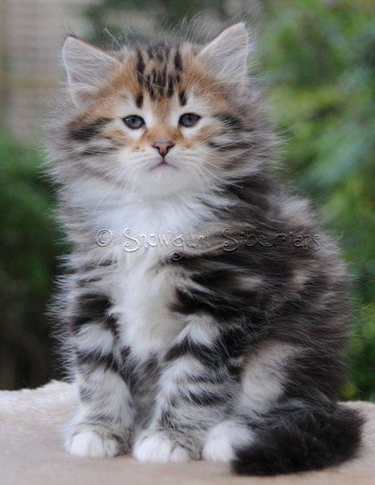 Black Silver Siberian Cat