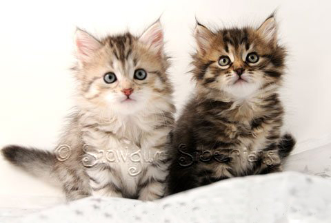 Available Siberian Kittens Sydney 2015!