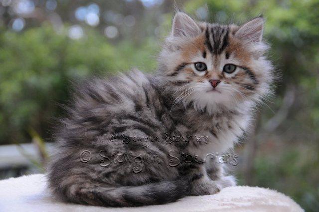 TabbySiberianKitten2.jpg (640×425) Siberian kittens