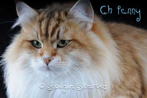 Picture Golden Siberian Cat
