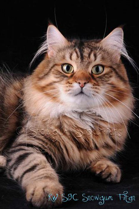 Picture Siberian Cat Titan