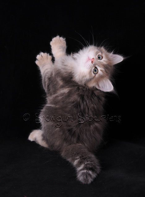 Picture Siberian kitten blue