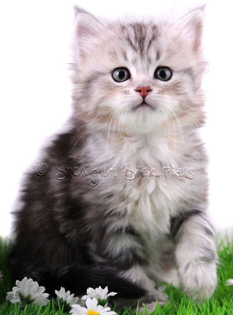 Snowgum Siberian Kittens How To Adopt